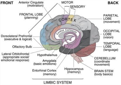 brain-basic_and_limbic
