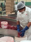 Workers sorting the berries. No machines!